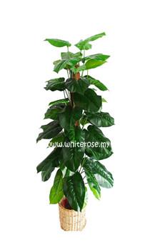 WAP03- 5 Ft Money Plant