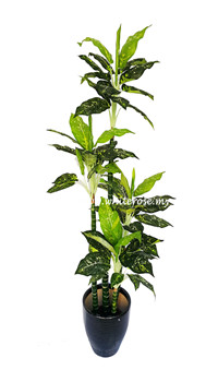 WAP01-5.5 ft Evergreen Plant