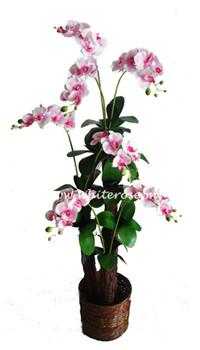 WAP07-Orchid Plant