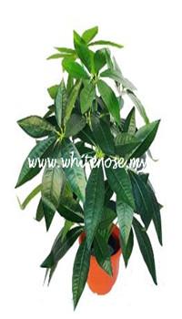 WAP08-Fortune Tree