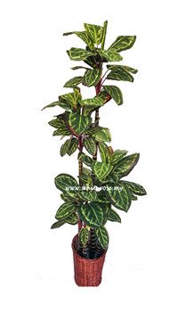 WAP13-Peacock Plant