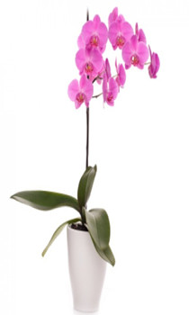 WOP02-Pink Orchid Plant