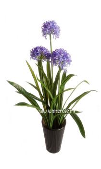 WAP04- 3 Ft Agapentus Plant