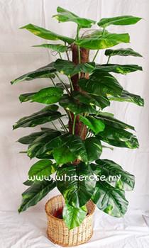 WAP05-Varigated Money Plant